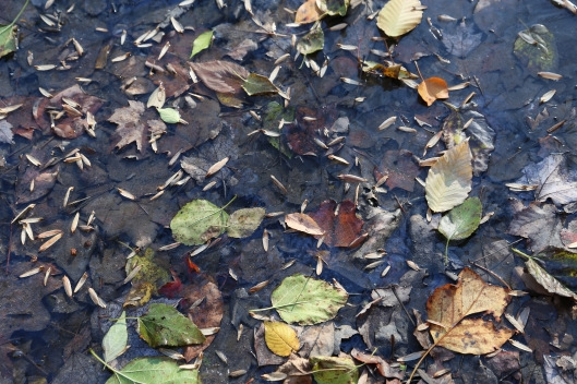 Leaves captured in an icy creek